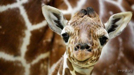 olhar-pequena-girafa