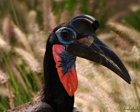 Abyssinian_Ground_Hornbill_3879