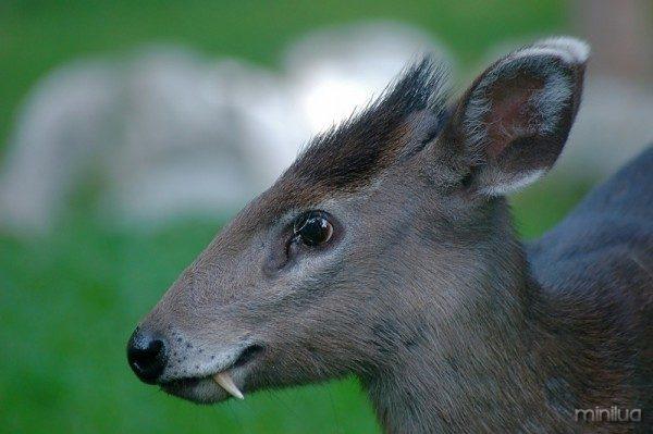 Elaphodus cephalophus ciervo con colmillos 2