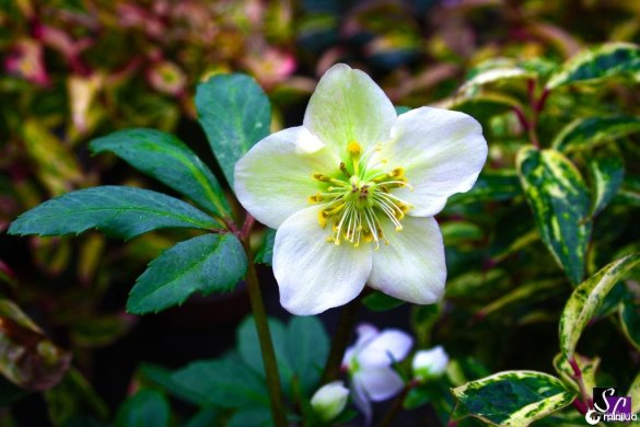 hellebore_by_sessinara-d6wt7lr