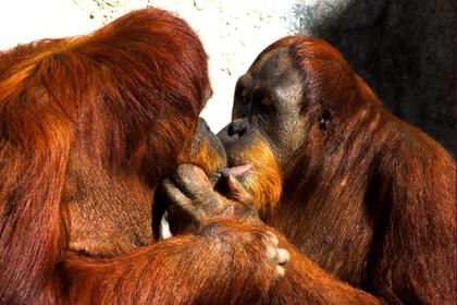 love animals kissing monkeys orangutans 2250x1501 wallpaper_www.animalhi.com_62