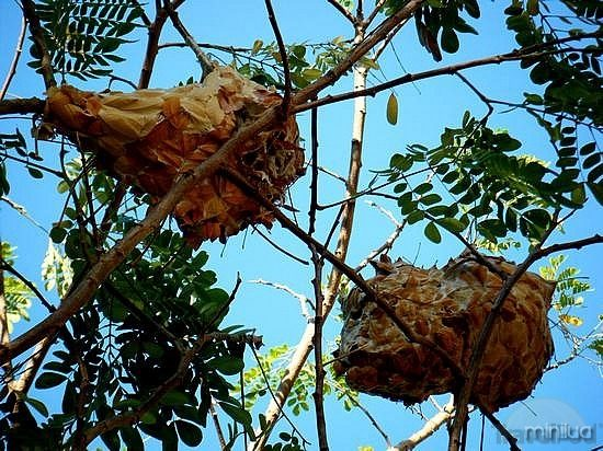 green-ant-nests-still-in-the-tree-n4-annandale