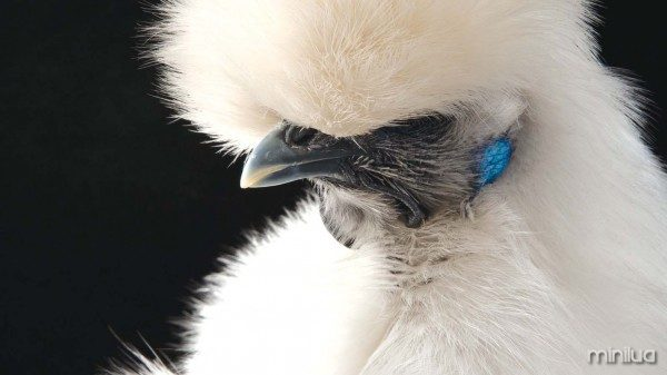 04_13_White-Bearded-Silkie-Hen16_thumb