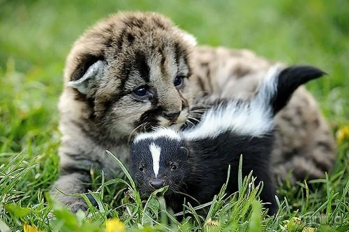 Lion and Skunk Friends