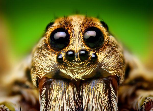 Eye_Arrangement_of_a_Hogna_Wolf_Spider