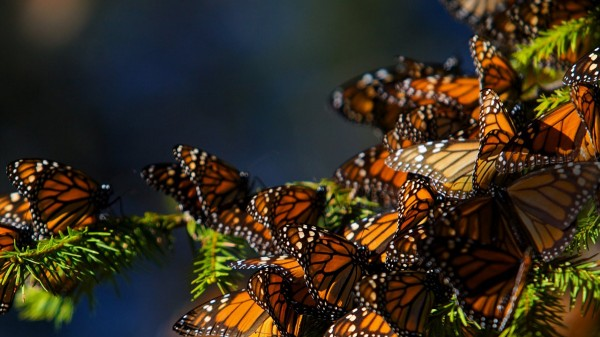 Monarch_butterflies_migrating_to_Central_Mexico_1200x900