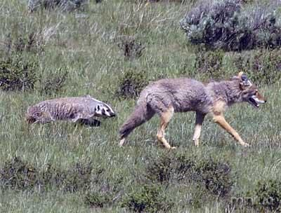 coyote-and-badger-750981