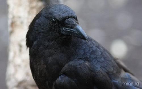 noe-solta-um-corvo