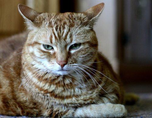 cat_angry_mad