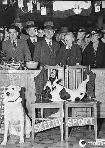 cães de desporto