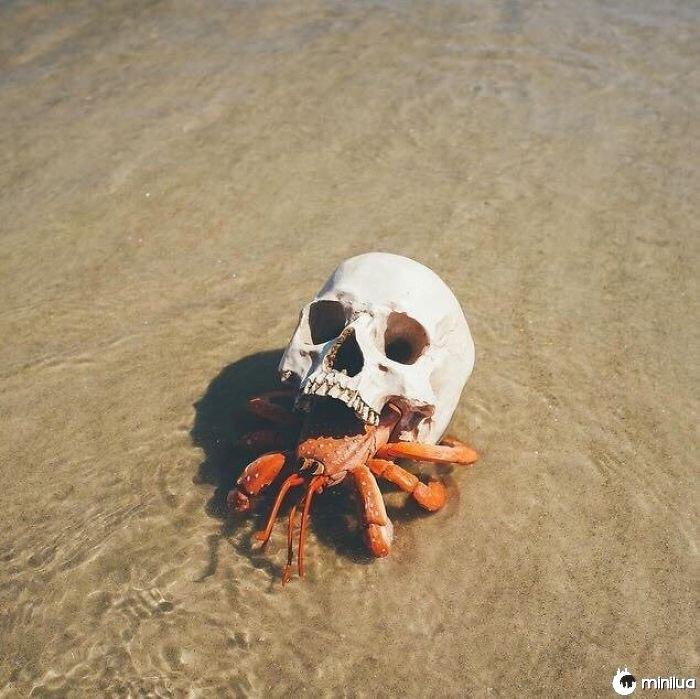 Caranguejo de eremita usando um crânio para um concha