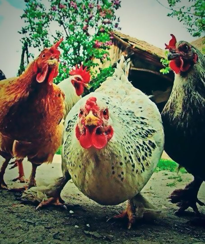 As galinhas agressivas da rocha