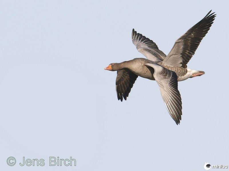 Quatro-asas-pássaro-perfeito-timing
