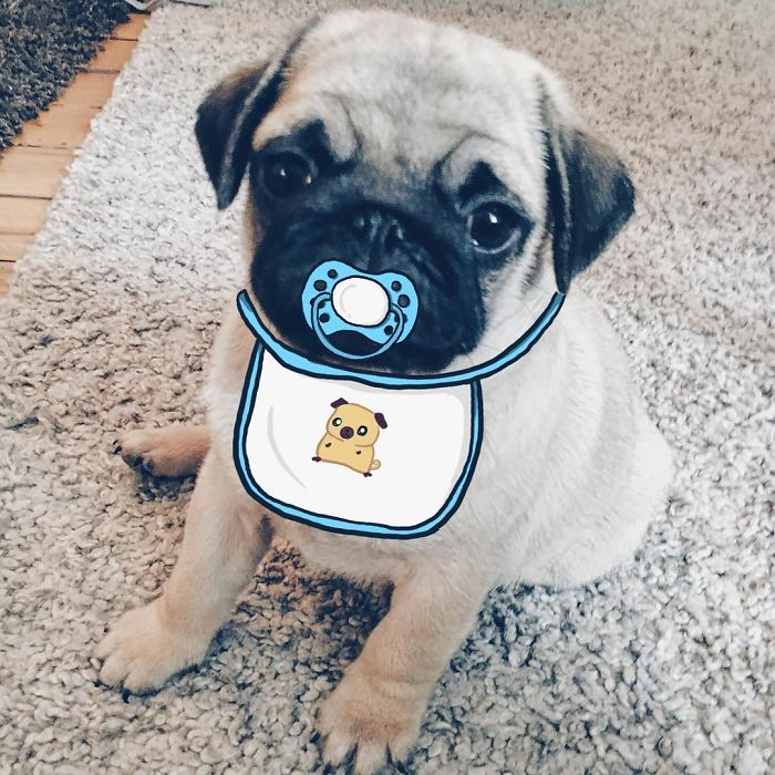 Throwback When Mr. Georges Was Still A Tiny Baby Pug