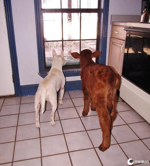 Resgate, cão, miniatura, vaca, olhar, exterior, janela