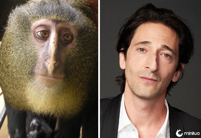 O macaco de Lesula olha como Adrien Brody