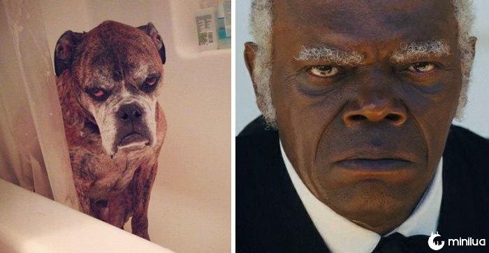 Este cão olha como Samuel L. Jackson