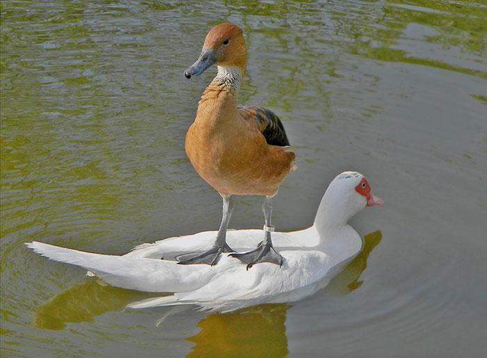 F * ck Você, outro pato