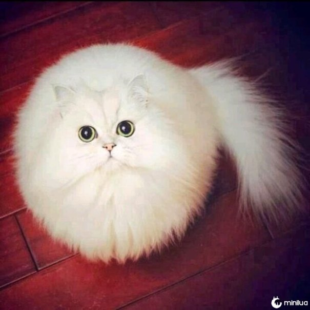Gato branco redondo
