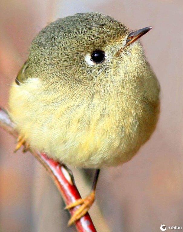 Pássaro redondo