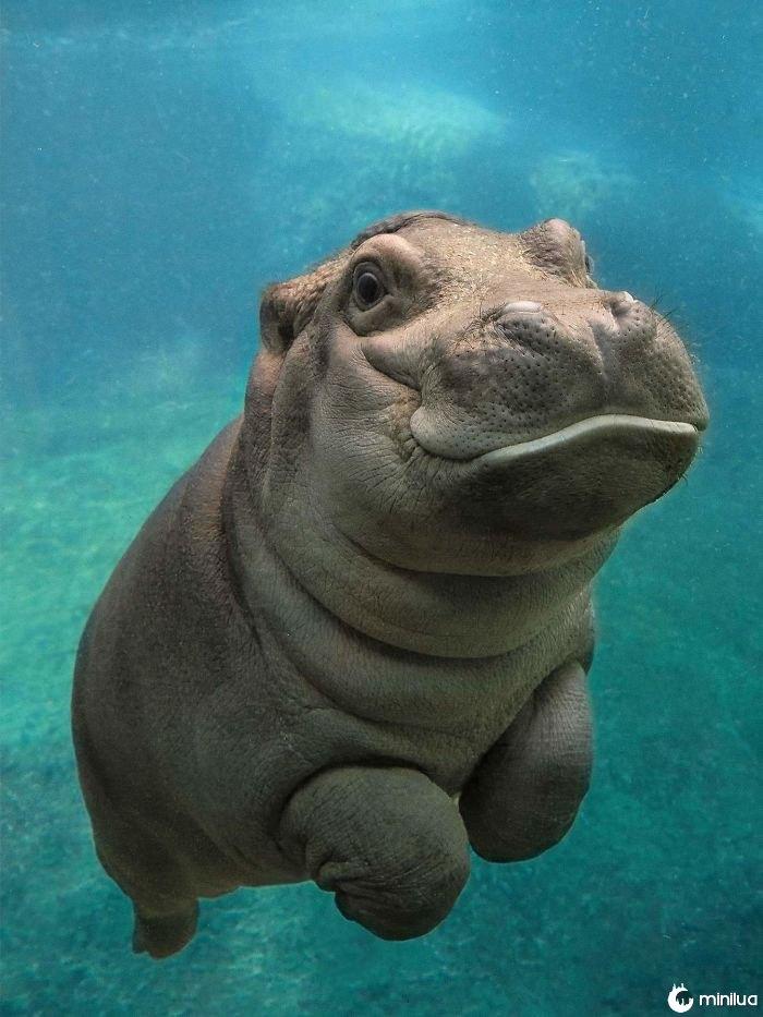 Hippos do bebê