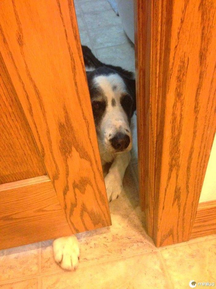 O cão não tem permissão para estar na cozinha enquanto preparam a comida, mas sobre tudo o que puder