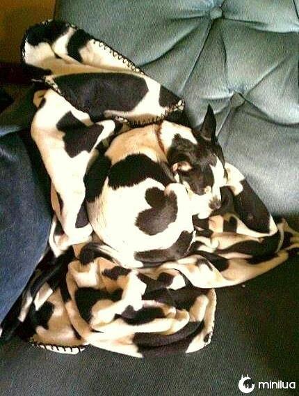 cão camuflada com cobertor