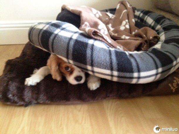 Cão que esconde debaixo da cama