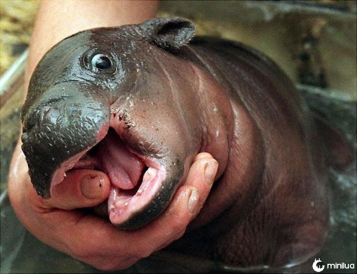 Hipopótamos bonitos do bebê