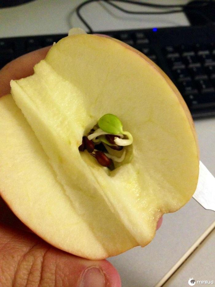 Eu cortei e Apple pela metade esta manhã e achei que as sementes começaram a brotar dentro da maçã