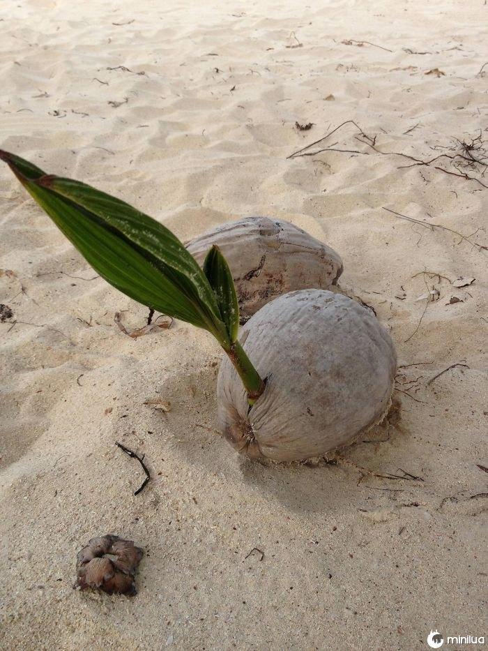 Manchado uma palmeira que cresce fora de um coco