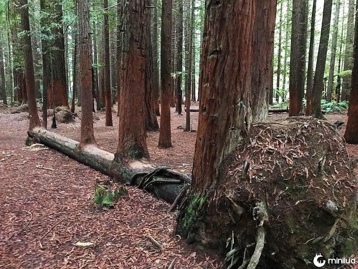 Esta árvore caiu e cresceu 4 mais árvores fora de si mesmo