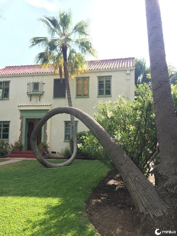 Esta palmeira caiu e curvou direito de backup