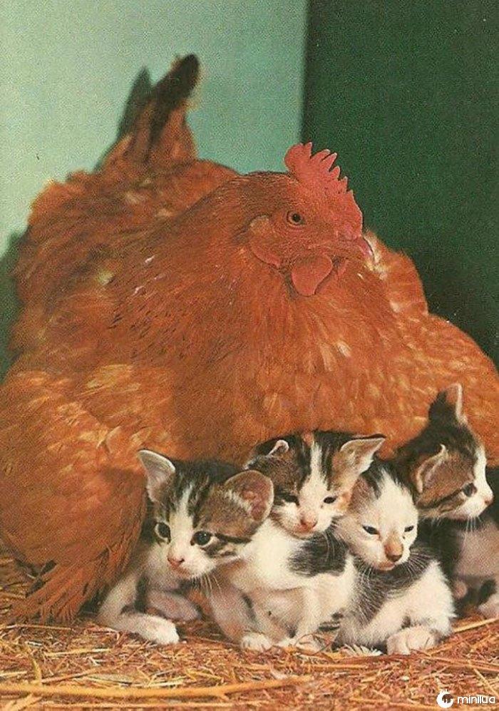 Hen Adota 4 gatinhos
