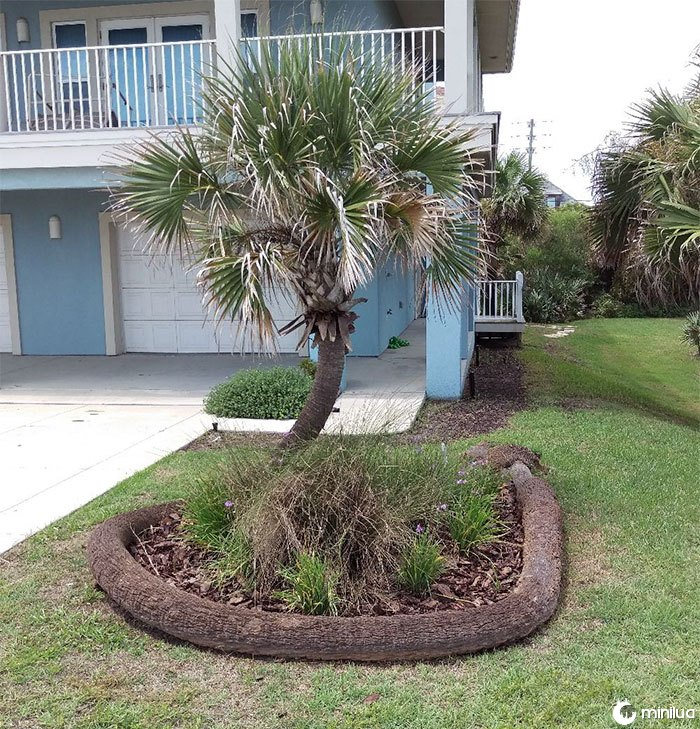 The Way This Palm Tree Fell And Continued To Grow