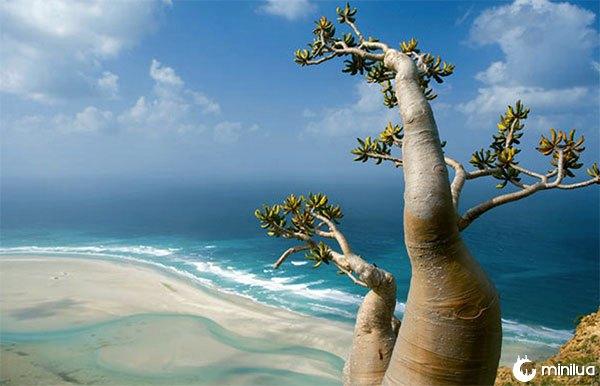 Arvore de Socotra