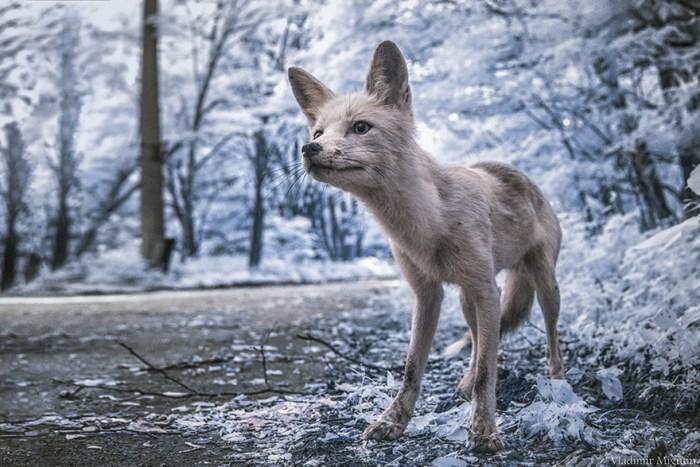 Simon - Uma Fox Human-Friendly, que freqüentemente aborda grupos na zona de exclusão, pedindo comida