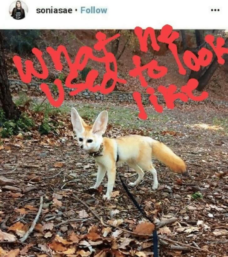 Ela obrigou sua raposa a ser vegana, mas seu corpo não resistiu e hoje parece terrível. Foi a pior decisão
