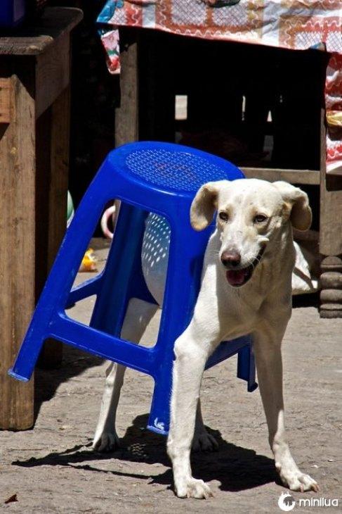 cão de banco