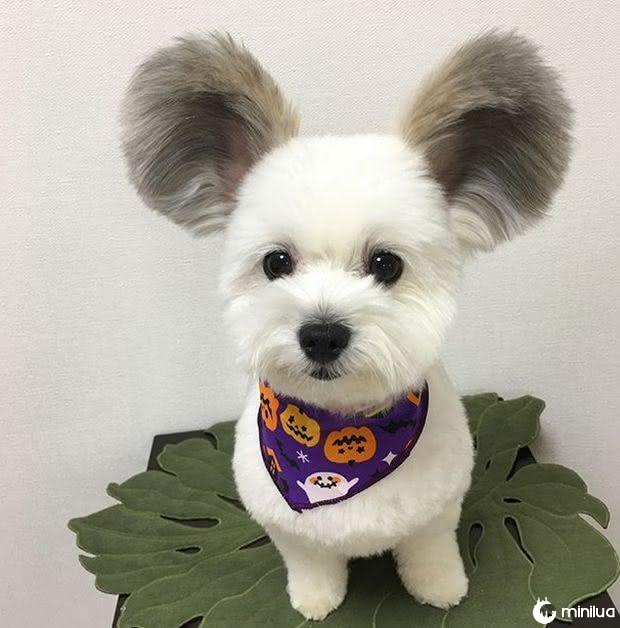 cão com orelhas de rato (6)