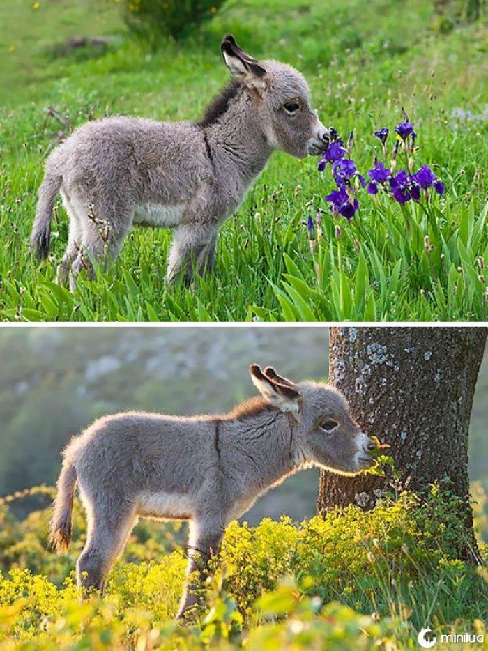 Bebê burro cheirando flores