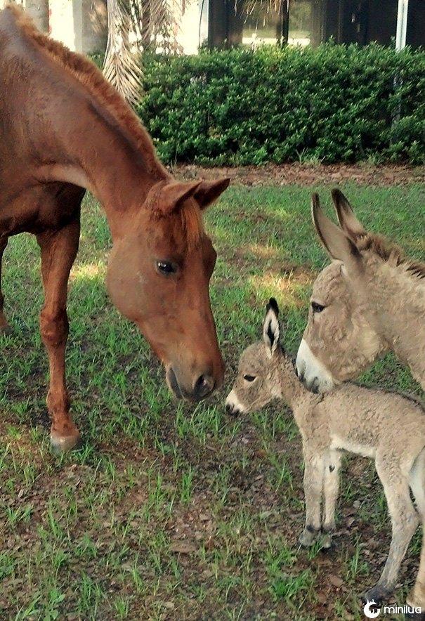 Meu burro apresentando seu bebê de 5 horas de idade para meu cavalo