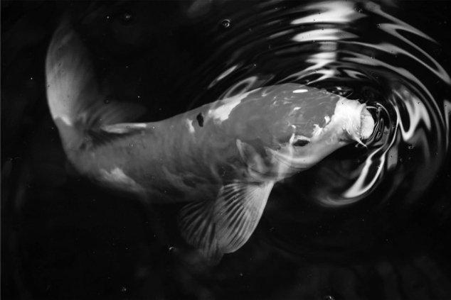 fish breathing