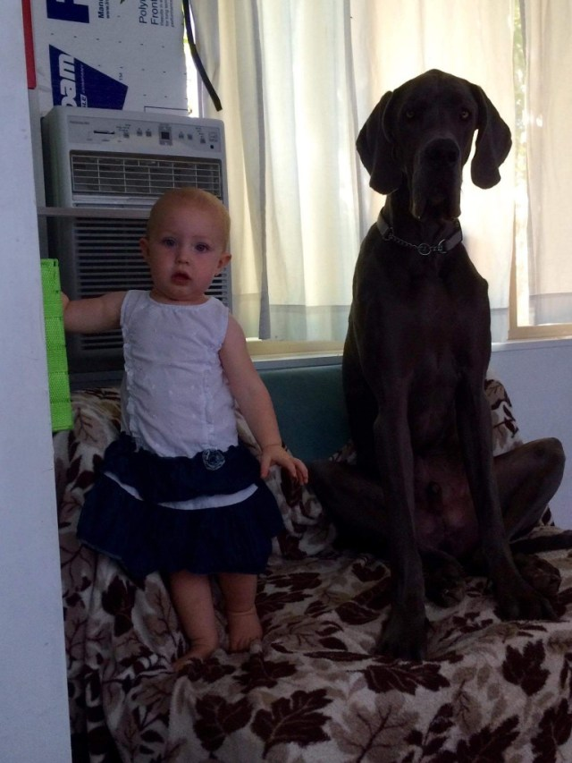 """To start, since wordpress doesnt seem to let me reorder pictures into the right order... This is just to show that Denver still has a few inches on the girl, but she is gaining fast!! (31"""" tall :))"""