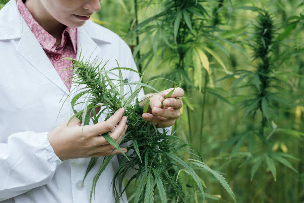 A researcher in a lab coat studies the leafy flower top of a hemp plant in a field. Research into other cannabinoids helps us understand how this amazing plant can benefit humanity.