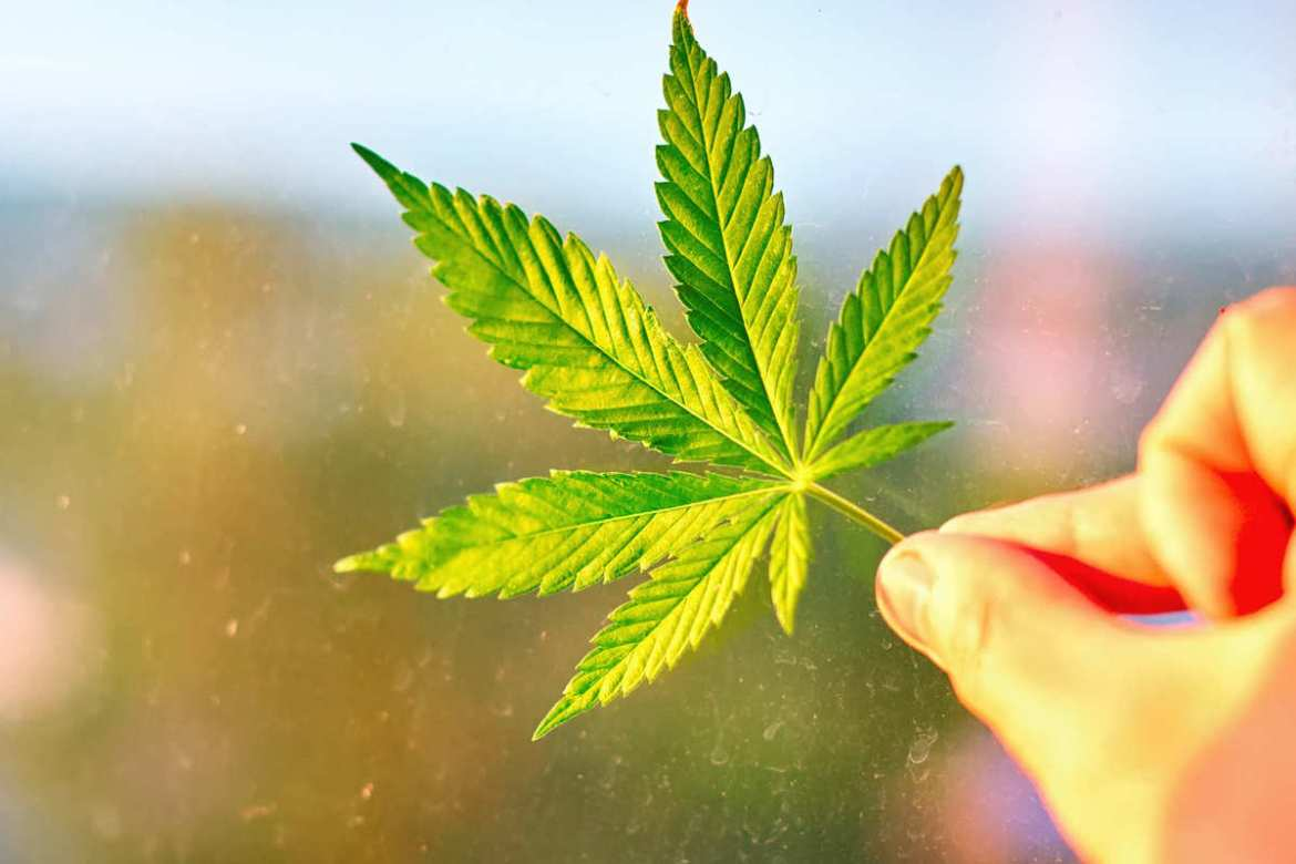 """A hand holding a hemp leaf. Prejudices against hemp and all forms of cannabis are beginning to fade in the UK, with 43 percent supporting total legalization of psychoactive cannabis (""""marijuana"""") in a recent survey."""