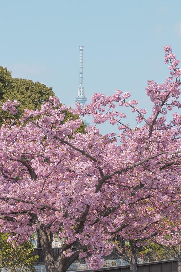 木場公園川津桜