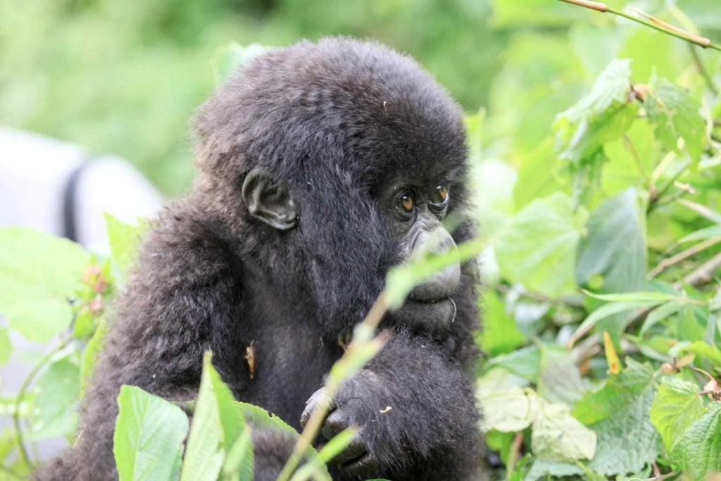 Gorilla Trekking in Rwanda and Kids! www.minitravellers.co.uk