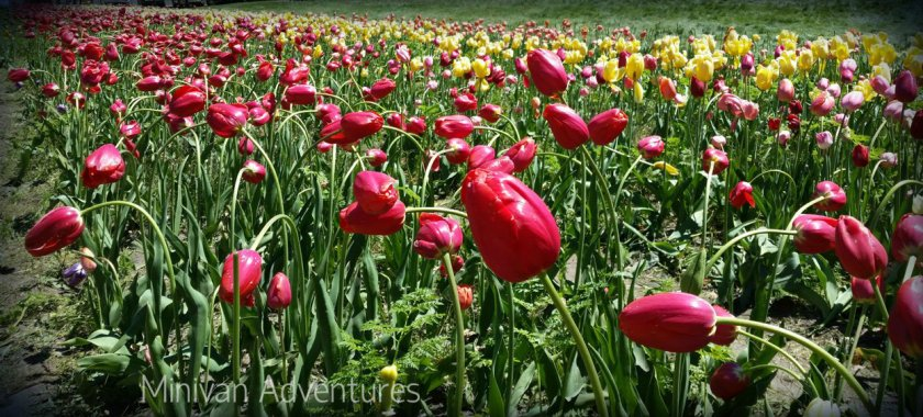 More rows of beautiful tulips at Window on the Waterfront Park in Holland, Michigan.