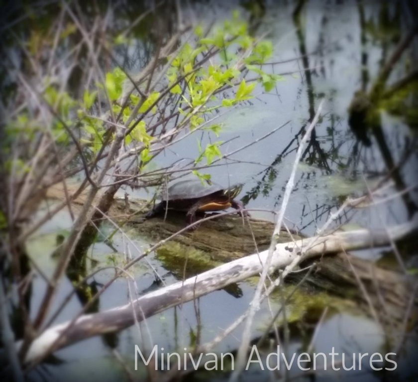 We enjoyed seeing all of the wildlife at Reeds Lake including this cute little turtle.